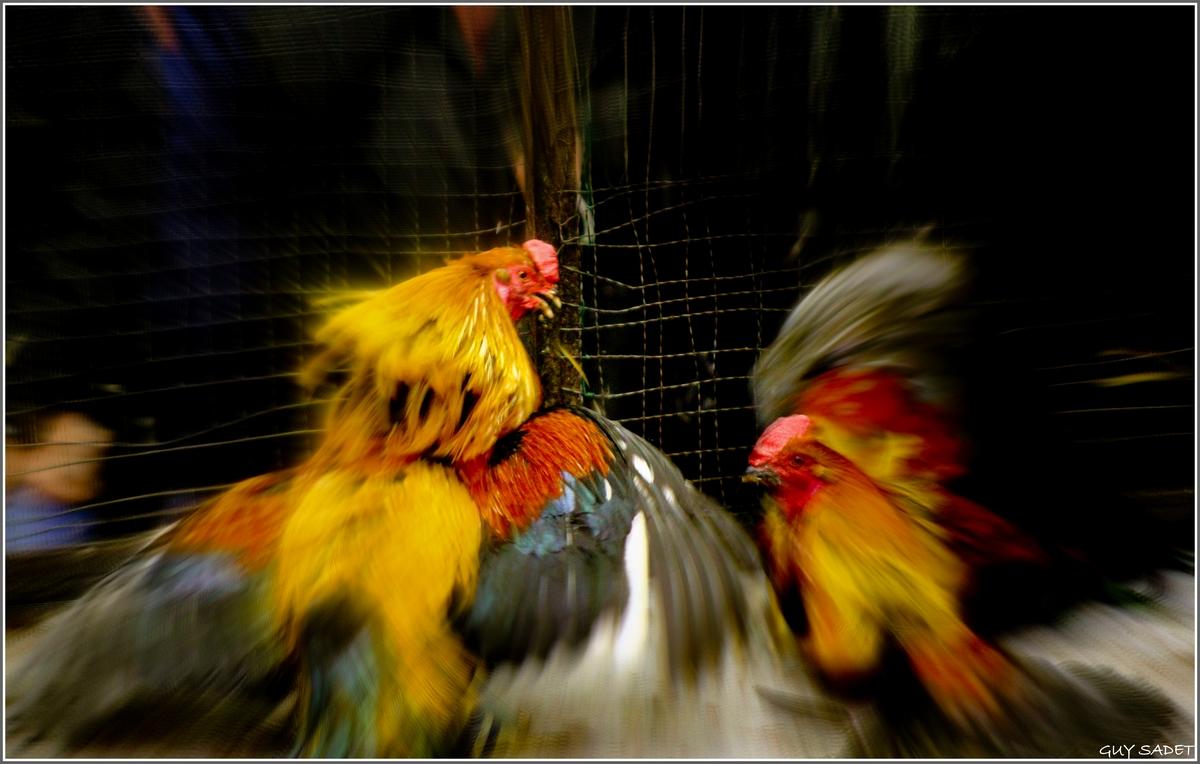 Menang Judi Sabung Ayam S128